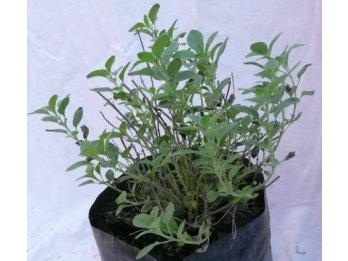 Plantines de orégano