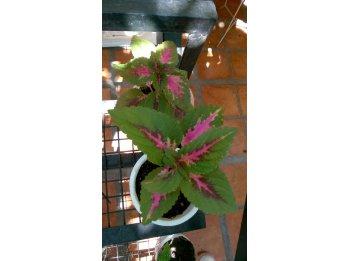 Vendo plantines de amaranto