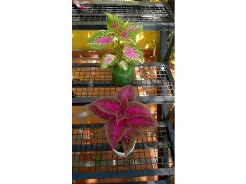 Venta de planta de amaranto