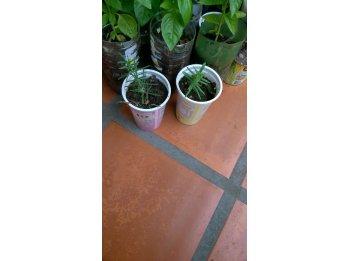 Plantines  de aromática romero