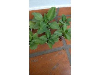 Plantines de kalanchoe