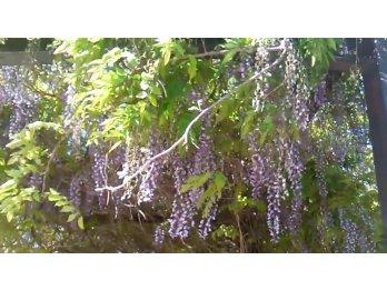 Plantines de gliscina