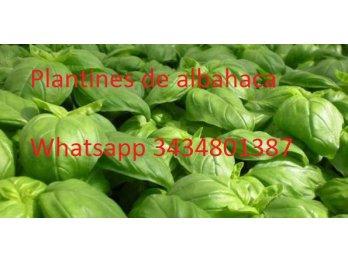 Venta de plantines de albahaca